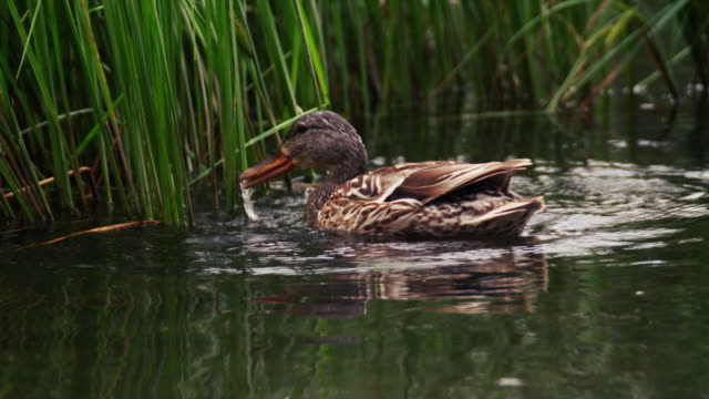 close-up female mallard duck swims among reeds, foraging for food. - foraging stock videos & royalty-free footage