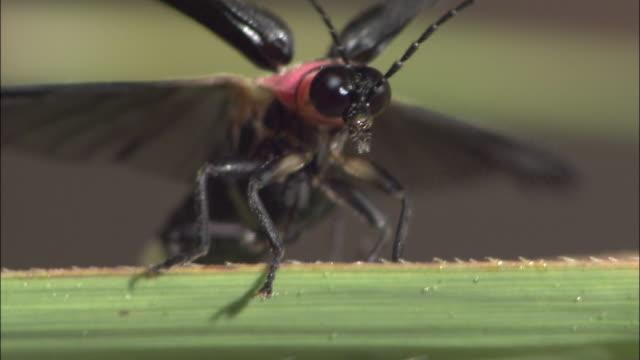 vídeos de stock e filmes b-roll de closeup; firefly imago - pirilampo escaravelho