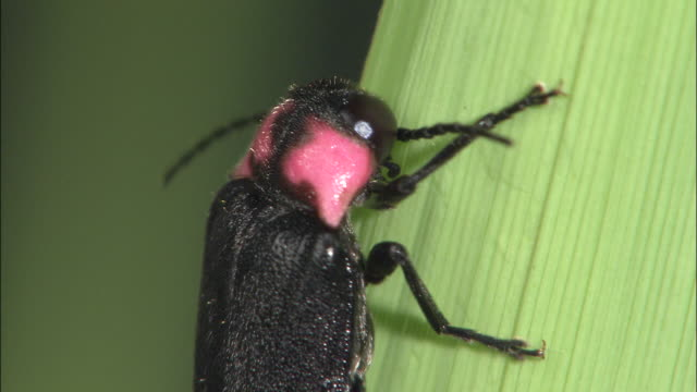 closeup; firefly imago - 蛍点の映像素材/bロール