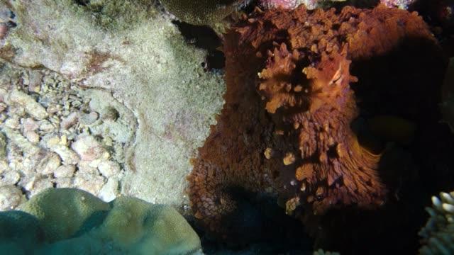 close-up: fish swims past giant octopus - pacific ocean点の映像素材/bロール