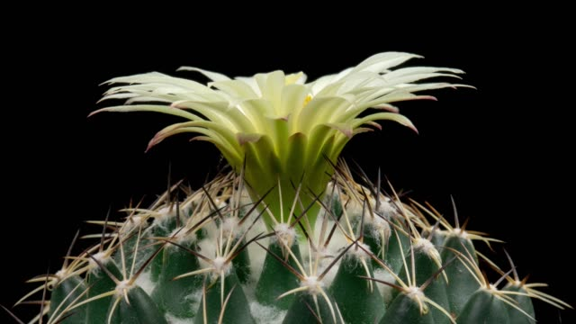 close-up flower timelapse - coryphantha maiz-tablasensis - flowering cactus stock videos & royalty-free footage