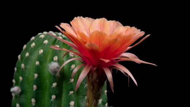 close-up flower timelapse - echinopsis chamaecereus cactus - barrel cactus stock videos and b-roll footage