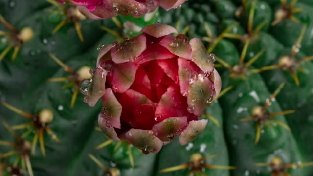 vídeos de stock e filmes b-roll de close-up flower timelapse - gymnocalycium baldianum - cato