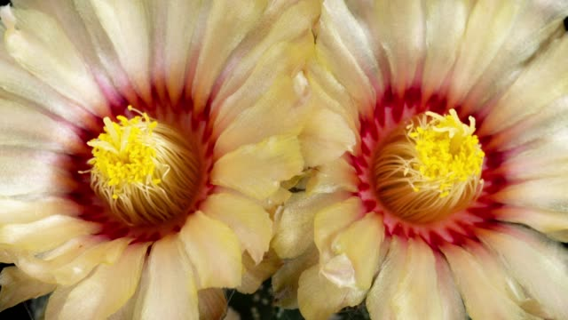 close-up flowers timelapse - astrophytum asterias - flowering cactus stock videos & royalty-free footage