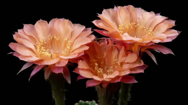 Close-Up Flowers Timelapse - Echinopsis Rose Color