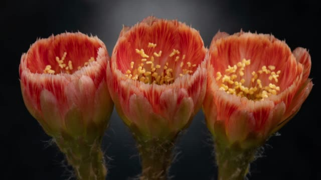 close-up flowers timelapse - lobivia cactus beautiful orange color - three objects stock videos & royalty-free footage