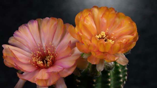 close-up flowers timelapse - lobivia cactus beautiful orange color - barrel cactus stock videos and b-roll footage