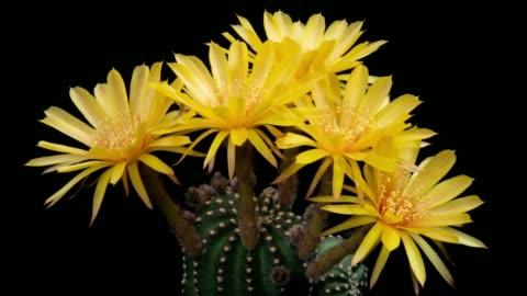 vídeos de stock, filmes e b-roll de flores do close-up timelapse-cor amarela do cacto de lobivia - cabeça da flor