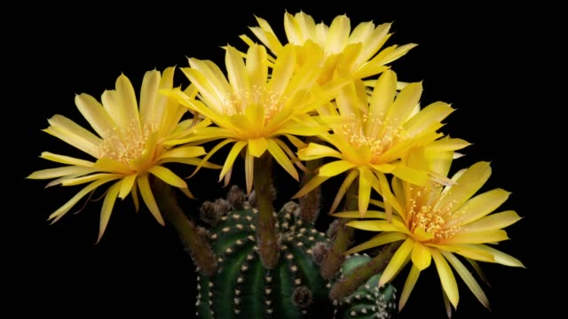 close-up flowers timelapse - lobivia cactus yellow color - cactus stock videos & royalty-free footage