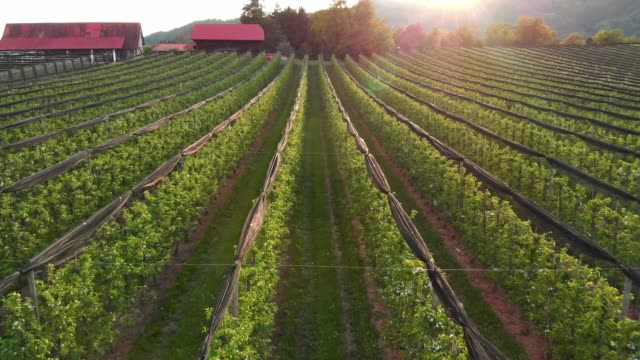 close-up footage of an orchard at sunset - apple orchard stock videos & royalty-free footage