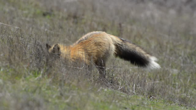 close-up: fox digging dirt in wild grassy and hay-filled meadow - digging stock videos and b-roll footage