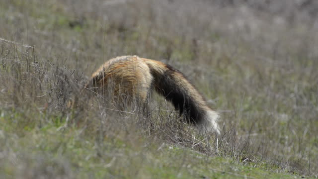 close-up: fox digging in wild grassy and hay-filled meadow - digging stock videos and b-roll footage