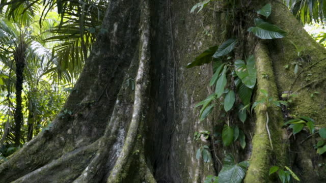 close-up: giant ceiba tree in rainforest - tree trunk stock videos & royalty-free footage