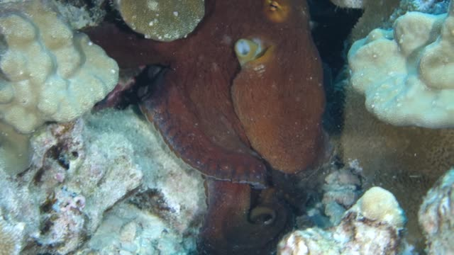 Close-Up: Giant yellow and Black Octopus in a Crevasse