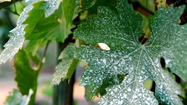Close-up grape leaf sways in the wind