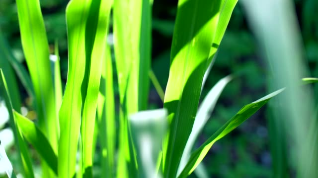 close-up grass leaves with morning sunlight - blade of grass stock videos and b-roll footage