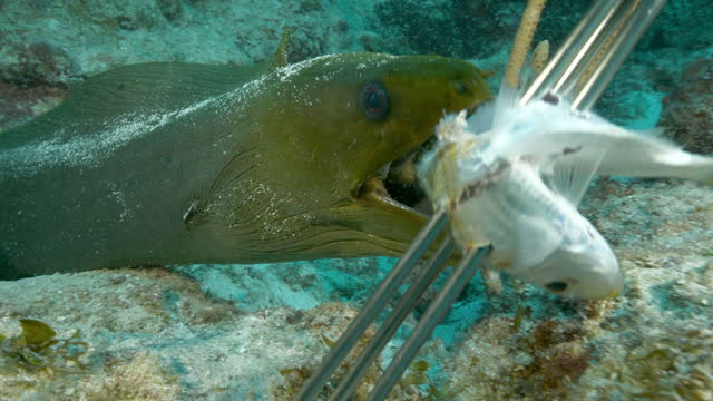 close-up: green moray eating dead fish on metal spear in ocean - belize city, belize - ウツボ点の映像素材/bロール