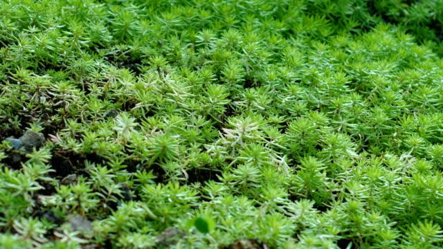 vídeos de stock e filmes b-roll de close-up green moss, dolly shot - camuflagem padrão