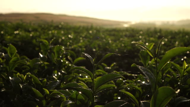 close-up green tea bud and fresh leaves slow-motion. - tea leaves stock videos & royalty-free footage