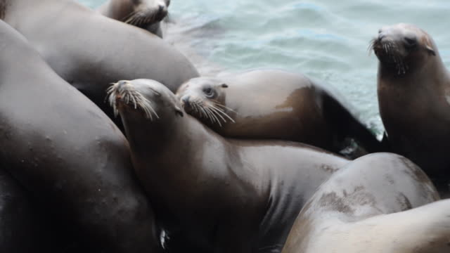 close-up: group of sea lions playing on dock near the water - otter stock videos & royalty-free footage