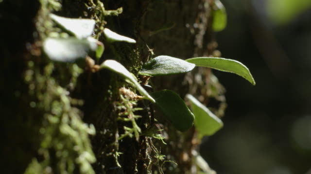 Close-up, handheld shot of waxy leaves growing from a moss-covered tree trunk in a nothofagus forest, Barrington Tops National Park, New South Wales, Australia.