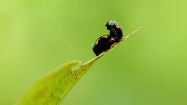 stockvideo's en b-roll-footage met close-up insect paring op het groene blaadje. - parende dieren