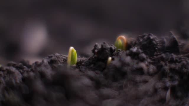 closeup; just sprouting buckwheat , nagano, japan - 苗点の映像素材/bロール