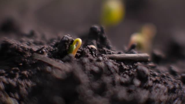 closeup; just sprouting buckwheat , nagano, japan - buckwheat stock videos & royalty-free footage