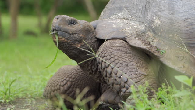 closeup: large galapagos tortoise eating grass looks up from his meal in grassy field - galapagos islands, ecuador - south pacific ocean stock videos & royalty-free footage
