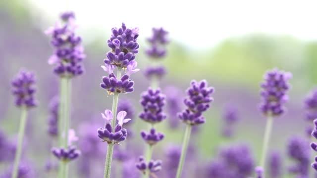 closeup; lavender field, hokkaido, japan - 植物 ラベンダー点の映像素材/bロール