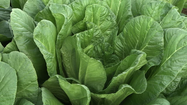 Closeup; Leaf Vegetable, Hiroshimana, Hiroshima, Japan