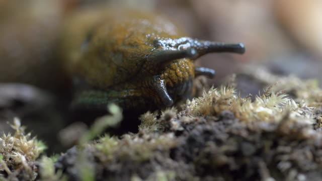 vídeos de stock, filmes e b-roll de close-up lockdown shot of slug eating small plants in forest - steigerwald, germany - lesma
