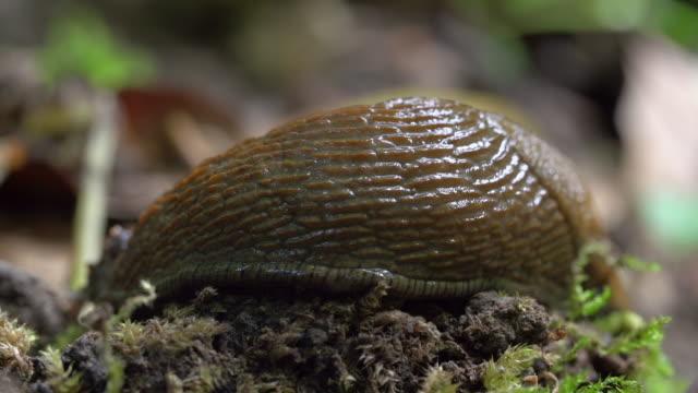 stockvideo's en b-roll-footage met close-up lockdown shot of slug moving on small plants in forest - steigerwald, germany - voelspriet