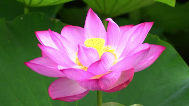 Closeup; Lotus Flower