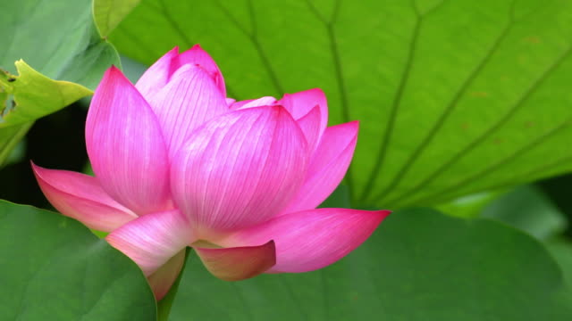 closeup; lotus flower - shinobazu pond stock videos and b-roll footage
