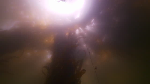 close-up: low angle view of kelps underwater with sunlight on surface - monterey, california - kelp stock videos & royalty-free footage