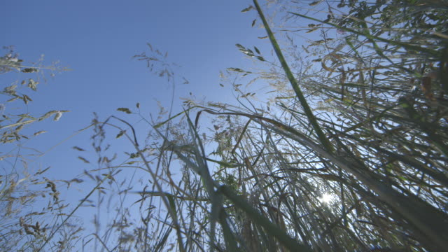 Close-up, low-angle 'bug's eye view' of towering grass on a sunny summer's day, UK.