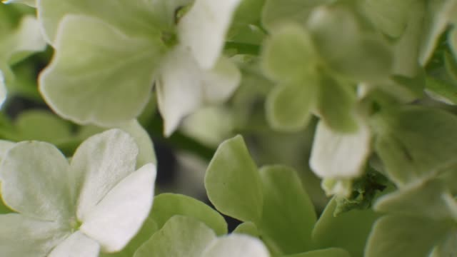 vídeos y material grabado en eventos de stock de macro de close-up de pétalo de hortensia - hortensia