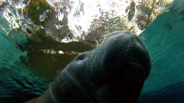 close-up: manatee swimming at water surface undersea - everglades, florida - aquatic mammal stock videos & royalty-free footage