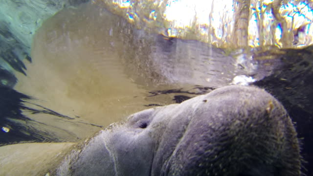 close-up: manatee swimming underwater - everglades, florida - rundschwanzseekuh stock-videos und b-roll-filmmaterial