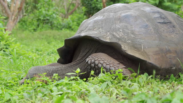 closeup: massive galapagos tortoise in forest clearing eats grassy plants in sunshine - galapagos islands, ecuador - south pacific ocean stock videos & royalty-free footage