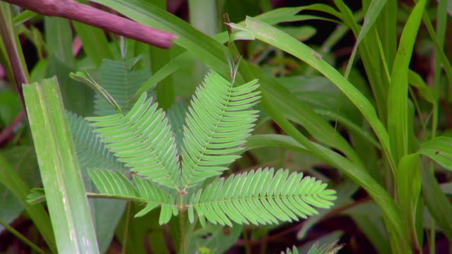close-up mimosa pudica curls up after twig's touch - twig stock videos & royalty-free footage