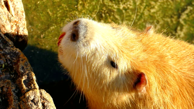 close-up - nutria in the waters - beaver stock videos & royalty-free footage