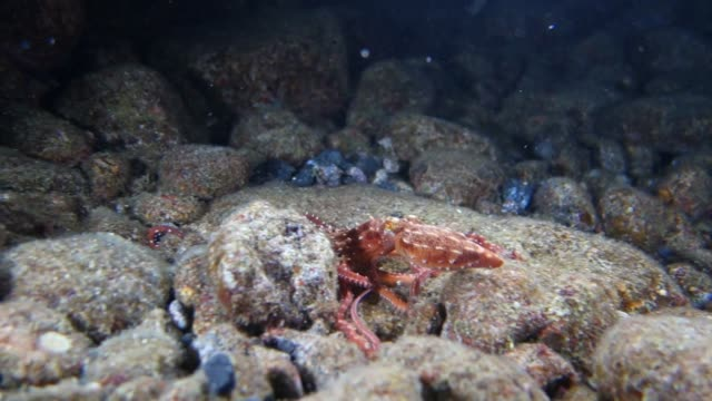Close-Up: Octopus Finds Hiding Spot