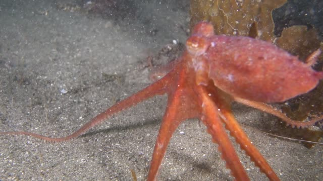 close-up: octopus swimming at bottom of ocean - pacific ocean stock videos & royalty-free footage