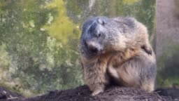 closeup of a alpine marmot sitting and scratching, squirrel specie from the mountains of europe