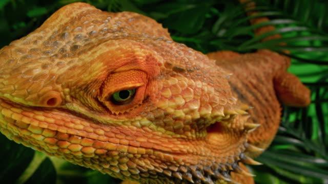 vídeos de stock, filmes e b-roll de close-up de um dragão barbudo - reptile