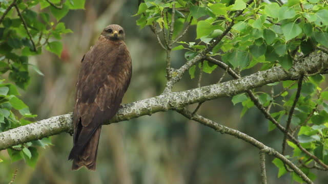 a close-up of a black kite looking towards the camera, perched on a tree branch, while the sound of the song of crickets and birds sounds. milvus migrans. - grillo insetto video stock e b–roll