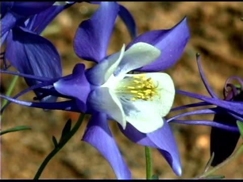 Close-up of a blue columbine flower