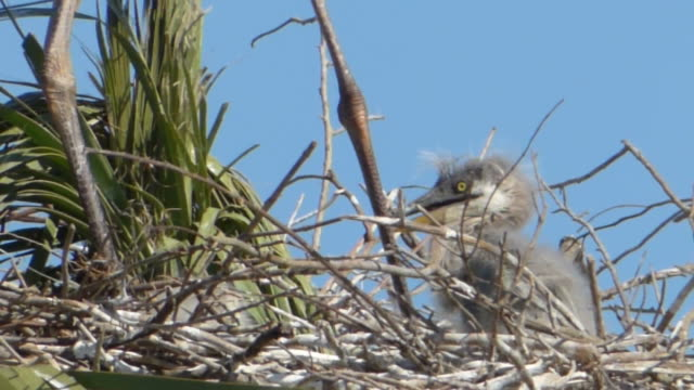 closeup of a bratty heron chick - great blue heron stock videos and b-roll footage